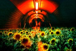underground sunflower field 隧道に咲く